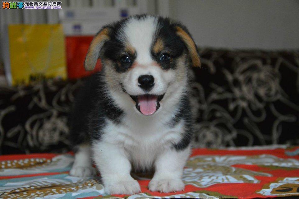 南京出售自家繁殖柯基犬幼犬 保纯种 忠诚可爱