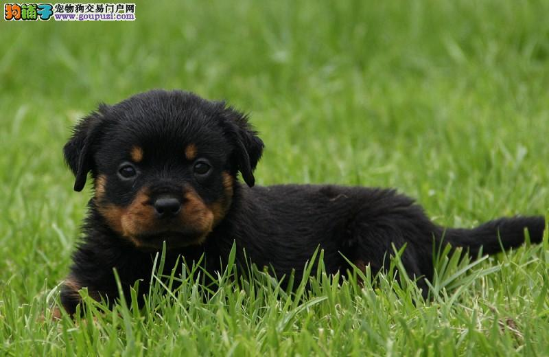 南京出售纯种高品质罗威那幼犬,健康保证3
