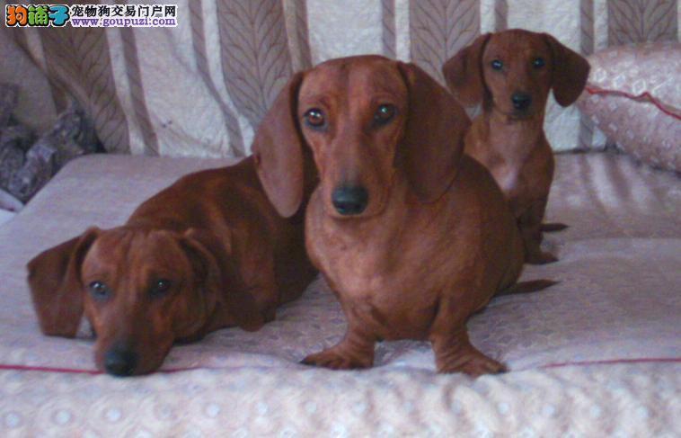 南京出售纯种活泼、勇敢狩猎犬腊肠犬多只可选