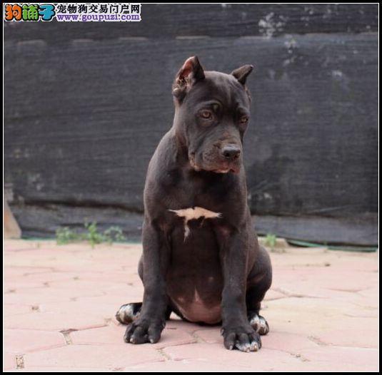 专业繁殖纯种北京卡斯罗犬疫苗齐全微信看狗可见父母