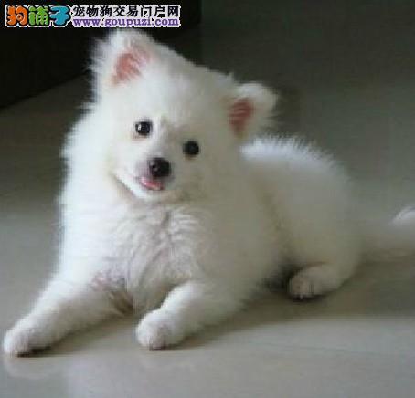 可爱的中型犬日本银狐犬公母都有
