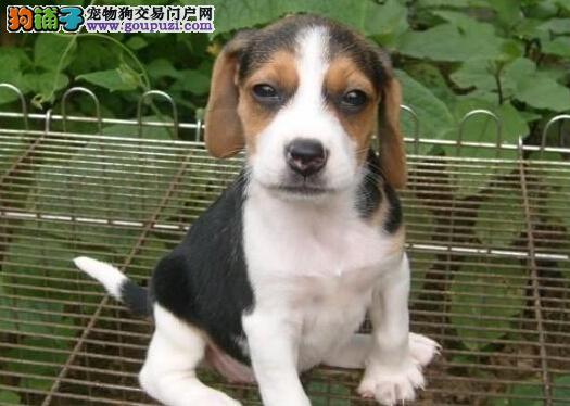宠物狗纯种纯种比格犬比格幼犬出售