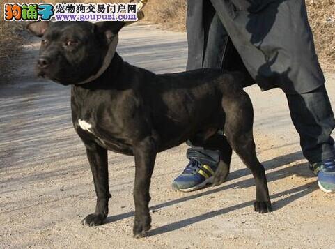 知名犬舍出售多只赛级比特犬真实照片包纯