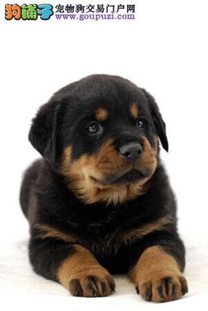赛级品相威海罗威纳幼犬低价出售外地可空运已驱虫