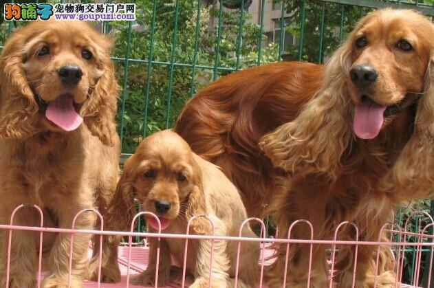 徐州出售纯种双血统保证健康可爱可卡犬宝宝正在热销中