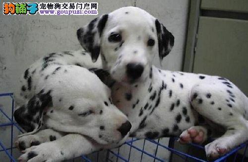 出售大麦町斑点狗纯种 保纯保活 DDMM都有