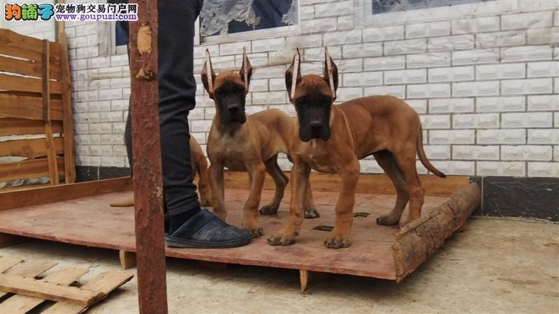 权威机构认证犬舍 专业培育大丹犬幼犬期待来电咨询