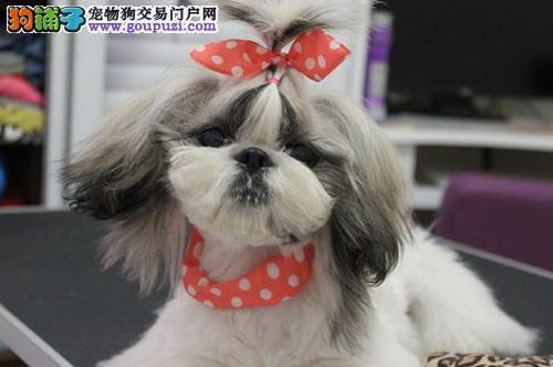 实物拍摄的西施犬找新主人办理血统证书