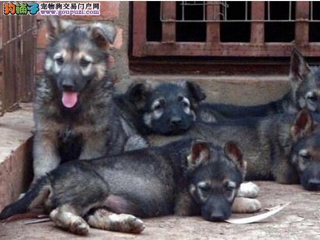 多种颜色的赛级昆明犬幼犬寻找主人微信咨询看狗狗照片