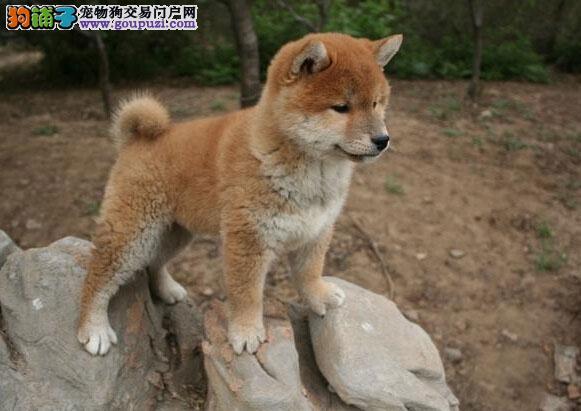 珠海哪里有卖纯种柴犬 纯种柴犬要多少钱