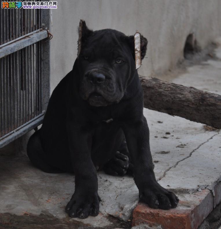 高级护卫犬家庭伴侣犬威武霸气的卡斯罗正规诚信犬舍2