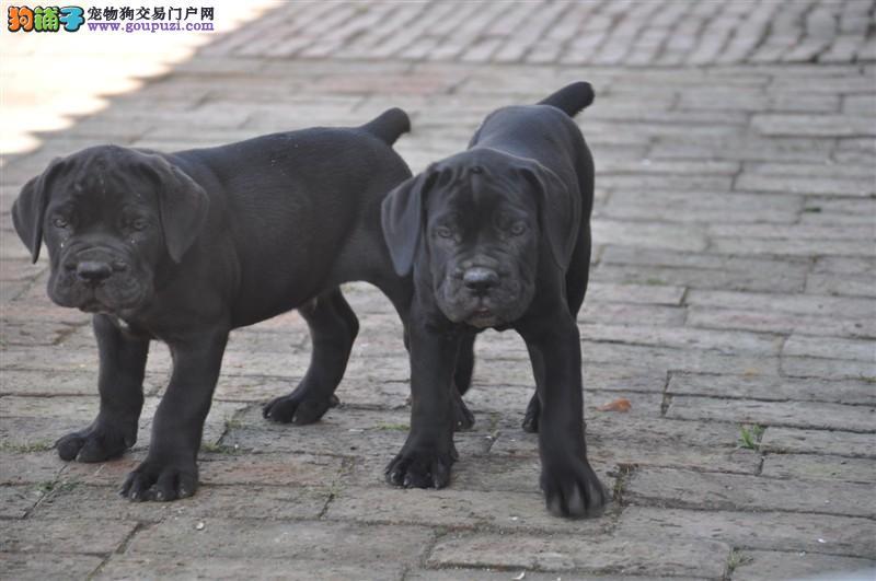 CKU犬舍认证出售高品质南宁卡斯罗犬实物拍摄直接视频