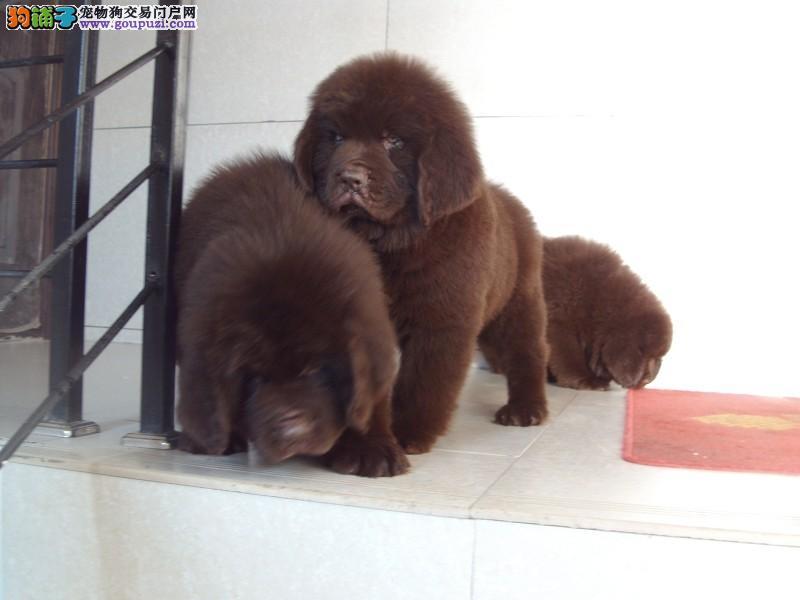 上海市出售纽芬兰犬 健康纯种 可上门选购 签售后协议