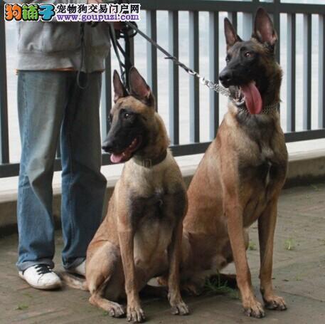 纯种高品质比利时马犬.易训练马里努阿犬幼犬江苏市售