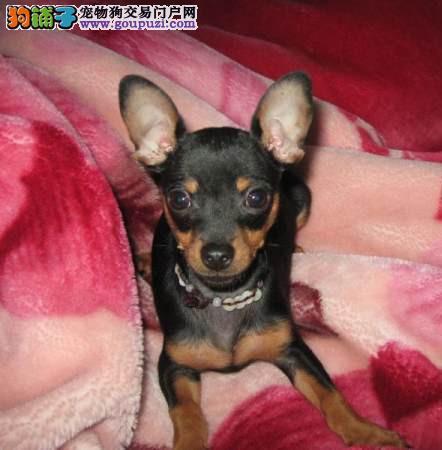 连云港出售小鹿犬幼犬品质好有保障三针疫苗齐全2