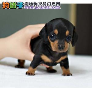 热销多只优秀的福州纯种腊肠犬幼犬狗贩子请绕行3