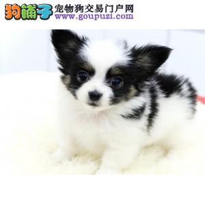 西安实体店低价促销赛级蝴蝶犬幼犬期待您的光临