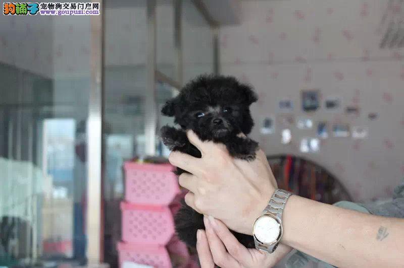 便宜哪里有卖纯种玩具茶杯泰迪狗狗 巧克力贵宾狗狗
