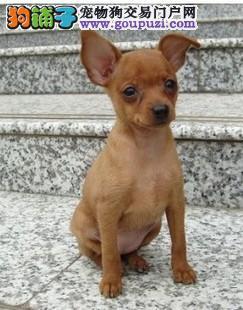 连云港出售小鹿犬幼犬品质好有保障三针疫苗齐全3