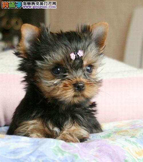 100%信誉保证纯种健康双血统约克夏梗犬北京出售图片