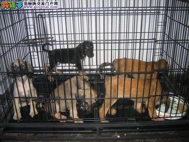 苏州市出售阿富汗猎犬 可视频看狗 包纯种健康 可刷卡