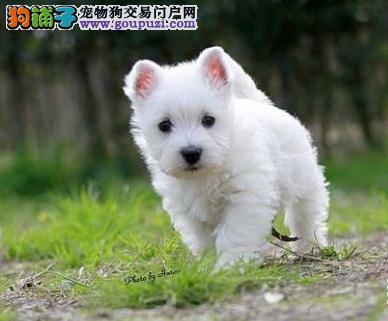 白如雪气质超群西高地幼犬健康活泼品质保障
