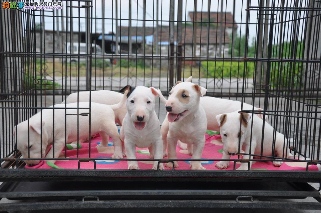 毫州赛级纯种牛头梗犬幼犬出售标准迷你海盗眼纯白视频