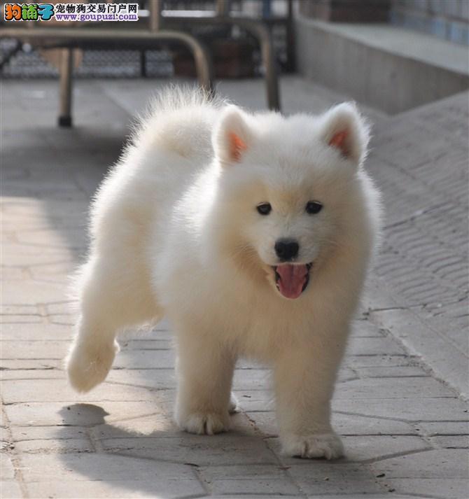 专业的繁殖基地长期出售高品质银狐犬 品质健康有保障