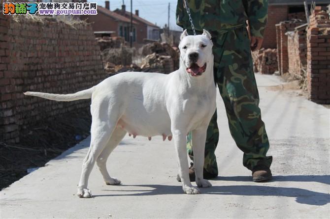 要丽江地区家养杜高犬热销健康有保障数量不多欲购从速