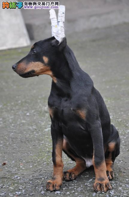 CKU认证犬舍出售纯种健康杜宾犬1