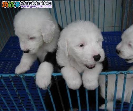 出售多种颜色纯种古代牧羊犬幼犬看父母照片喜欢加微信