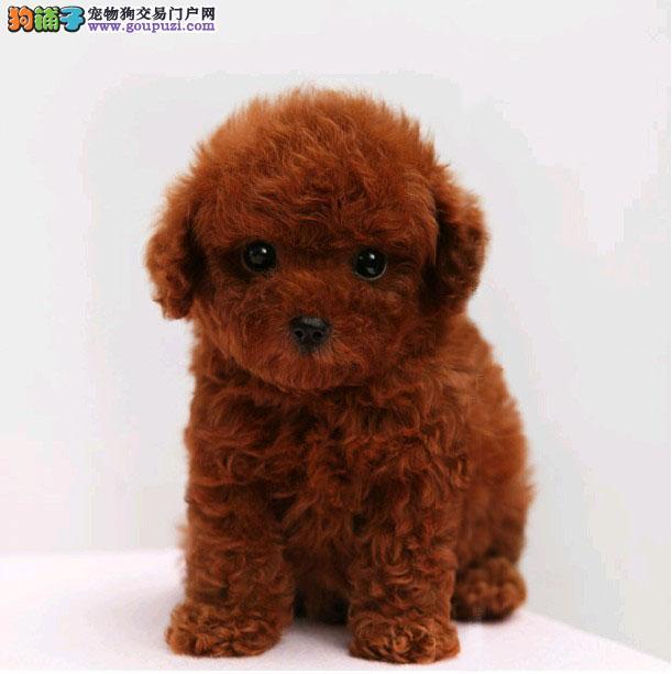 石家庄出售茶杯小体家养玩具贵宾犬 泰迪健康有保障