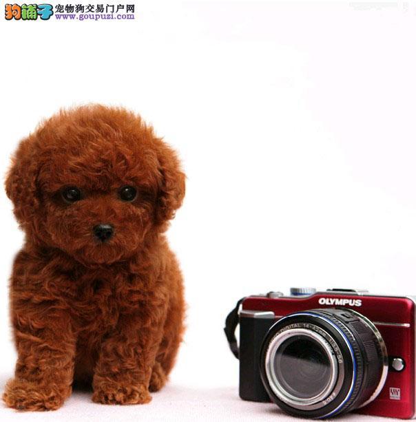 泰迪犬宝宝出售中 注射芯片颁发证书 寻找它的主人1