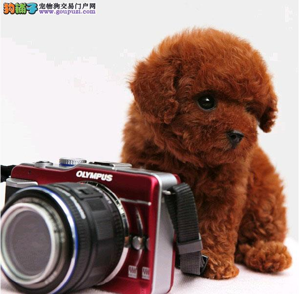 丹东超萌茶杯泰迪犬苹果头小体型售卖 百分健康