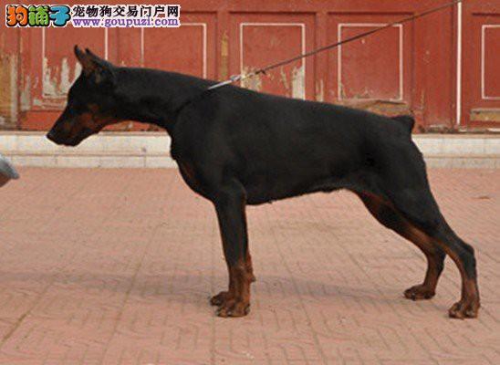 断尾优质杜宾犬 超值优惠 上门九折优惠 北京基地