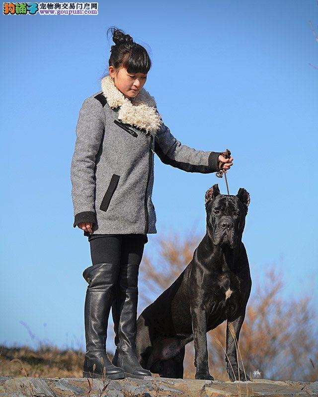 纯种卡斯罗幼犬 高品质卡斯罗 买好狗的请进2