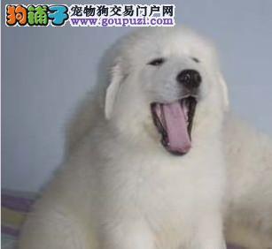 出售高端大白熊 纯度100%保证健康 微信咨询看狗