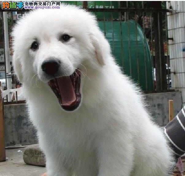 大白熊犬纯种健康/特价优惠/买狗送狗证 签协议
