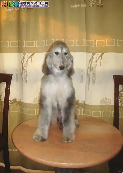 昆明出售纯种阿富汗猎犬保证健康 保证成活 纯种1
