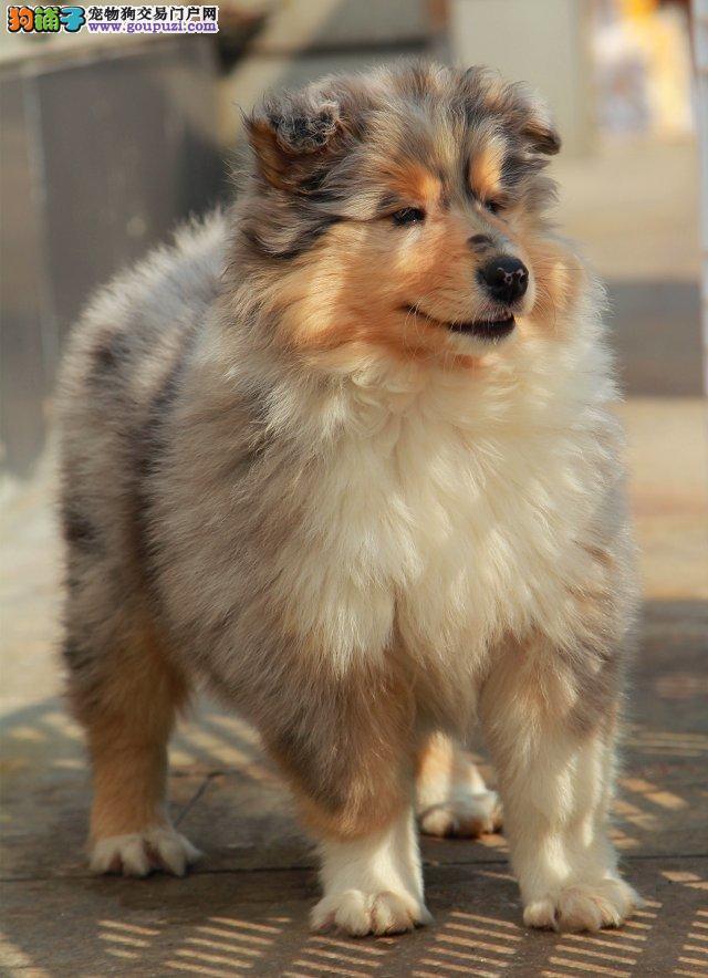 杭州本地什么地方卖喜乐蒂幼犬杭州哪里喜乐蒂便宜