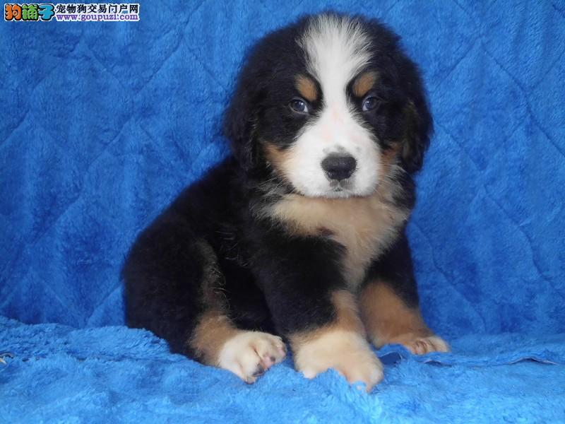 国际注册犬舍 出售极品赛级伯恩山幼犬微信咨询看狗狗照片