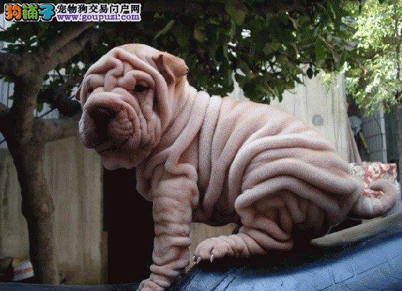 深圳哪里有卖沙皮狗 沙皮狗多少钱一只3