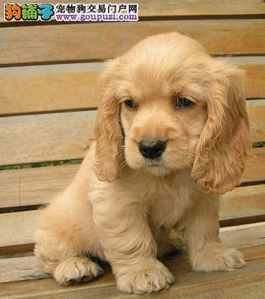 苏州哪里有可卡犬出售 大众犬业常年直销高品质可卡犬