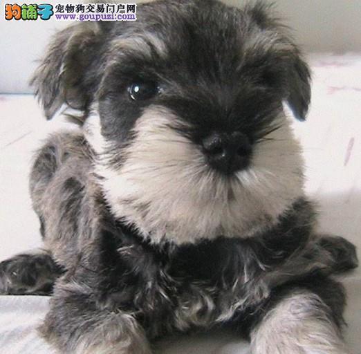 苏州哪里有雪纳瑞卖 大众犬业欢迎您来挑选 包纯包健康