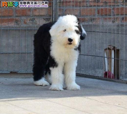 广州售纯种古代牧羊犬品质健康有保障签安全购犬合同