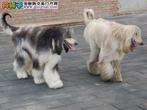 珠海出售强健阿富汗猎犬 轮廓匀称 肌肉发达体形优美