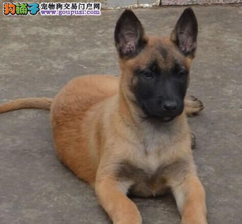 上海狗场直销纯种马犬幼犬包养活签合同送用品