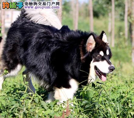 阿拉斯加雪橇犬的品种简介与挑选方法