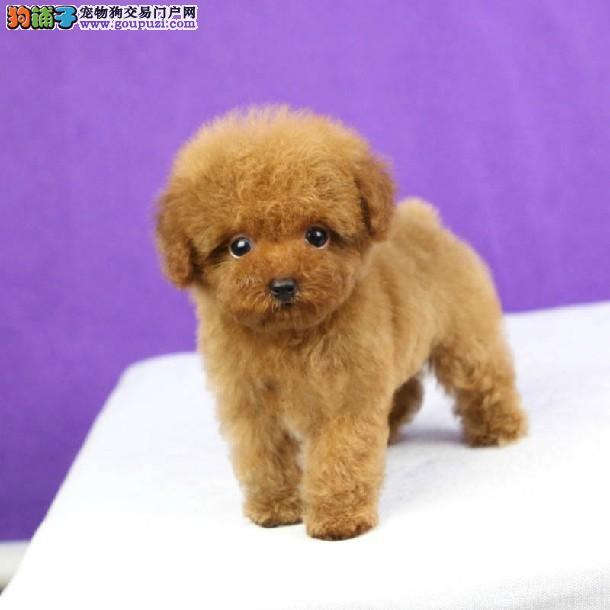 出售纯种漂亮的茶杯犬 纯种健康 可视频看狗 签协议