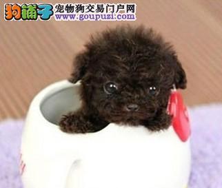 北京纯种韩系泰迪熊茶杯犬玩具犬可爱至极购买签订协议1
